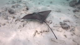 Coral Reef With Spotted Eagle Ray Swimming In Maldives Ocean