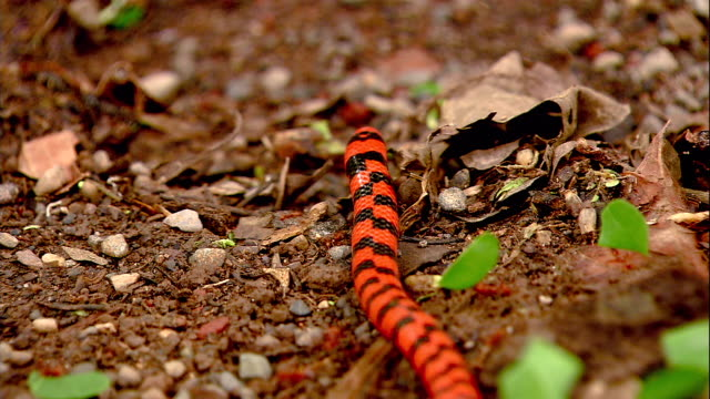 a coral snake slithers across the ground where leaf cutter ants march. - rock stock videos & royalty-free footage