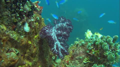 vídeos de stock e filmes b-roll de coral, soft, purple, chuuk lagoon, south pacific  - coral macio