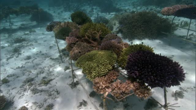 coral (scleractinia) transplants grow on nursery frame, fiji - corallo molle corallo video stock e b–roll