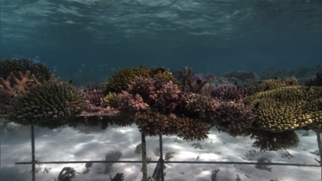 coral (scleractinia) transplants grow on nursery frame, fiji - pacific islands stock videos & royalty-free footage