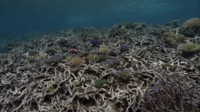 coral (scleractinia) transplants on damaged reef, fiji - reef stock videos & royalty-free footage