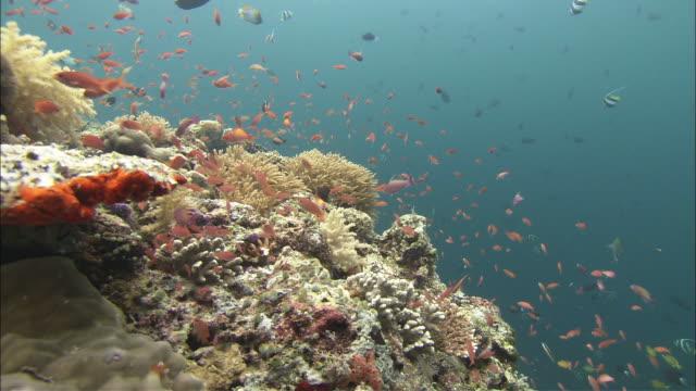 coral with fish, kapalai, sipadan, borneo - ボルネオ島点の映像素材/bロール