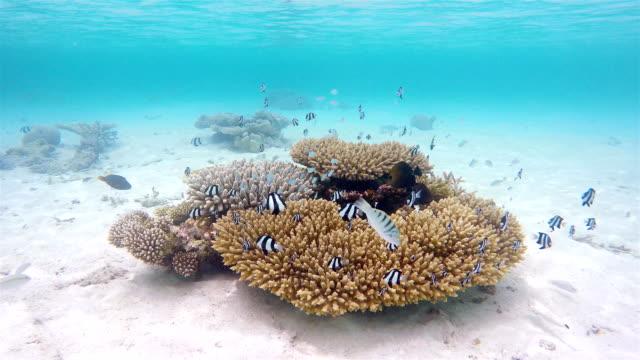 coral mit shoal des whitetail dascyllus auf den malediven - exotik stock-videos und b-roll-filmmaterial