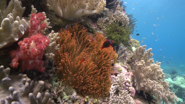 corals and anemone and clown fish, southern visayas, philippines - anemonefish stock videos & royalty-free footage