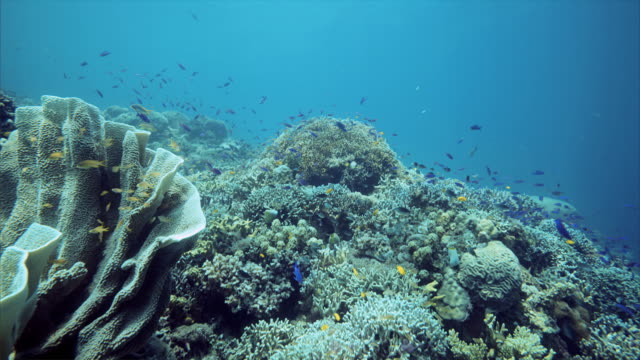 corals and school of fish under water at balicasag island in bohol philippines - riff stock-videos und b-roll-filmmaterial