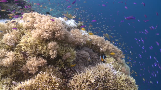 corals and various tropical fish, anemone guarded by clown fish, southern visayas, philippines - anemonenfisch stock-videos und b-roll-filmmaterial