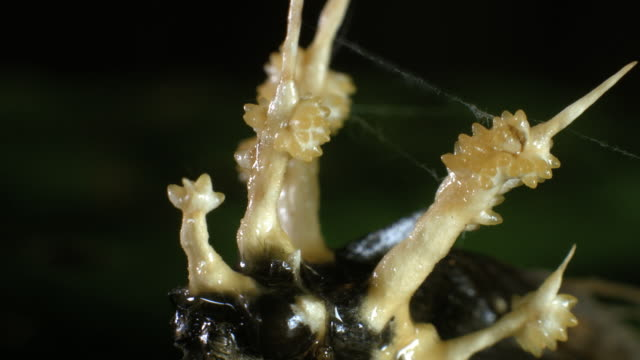 cordyceps fungus growing out of a parasitized moth in ecuador. - parasitic stock videos & royalty-free footage