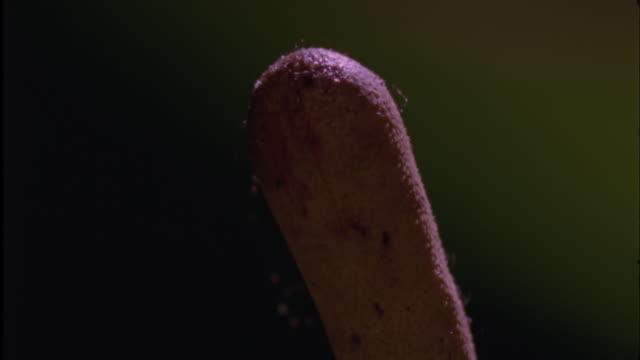 cordyceps fungus sheds its spores, ecuador - spore stock videos and b-roll footage