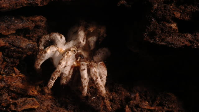 Cordyceps fungus sprouts from a dead spider inside a rotting log. Available in HD.