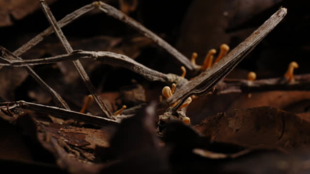cordyceps fungus sprouts from a dead stick insect. available in hd. - parassita video stock e b–roll
