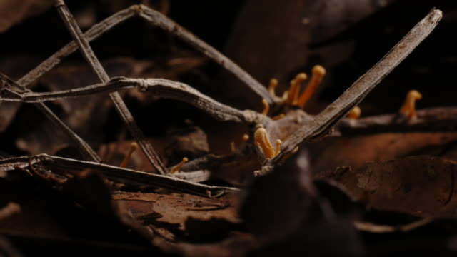 cordyceps fungus sprouts from a dead stick insect. available in hd. - parasitic stock videos & royalty-free footage