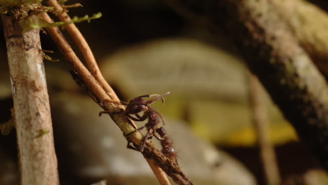cordyceps fungus sprouts from the head of a bullet ant. available in hd. - pilz stock-videos und b-roll-filmmaterial