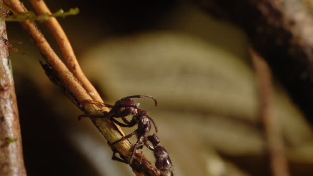cordyceps fungus sprouts from the head of a dead bullet ant. available in hd. - parasitic stock videos & royalty-free footage
