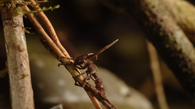 cordyceps fungus sprouts from the head of a dead bullet ant. available in hd. - parassita video stock e b–roll