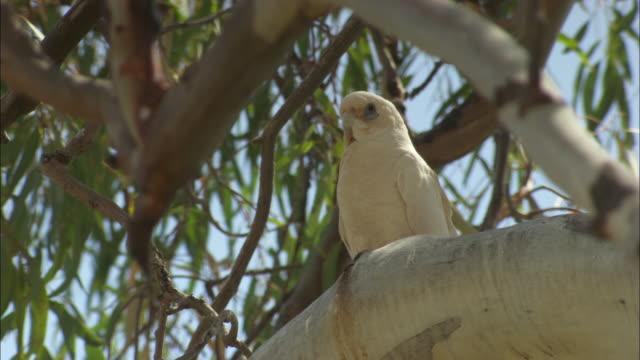 vidéos et rushes de a corella perches on a eucalyptus tree. - branche partie d'une plante