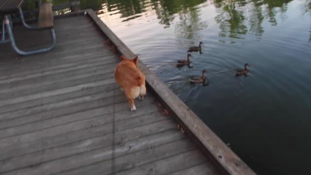 Corgi and ducks