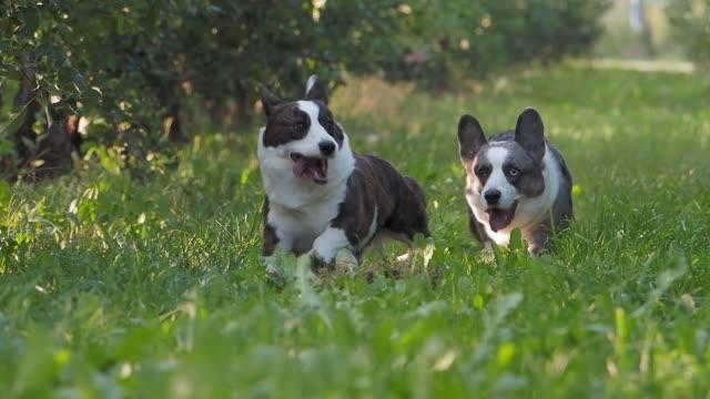 stockvideo's en b-roll-footage met corgi dog running outdoors in apple orchard, summertime - pembroke