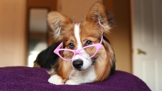 corgi in glasses