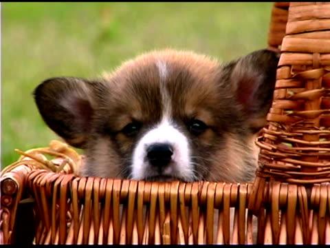 Corgi puppy in basket