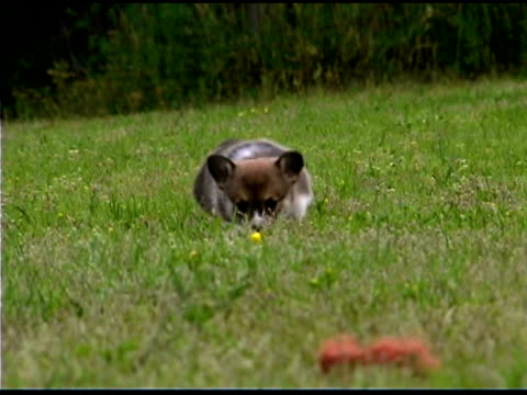 Corgi puppy in grass