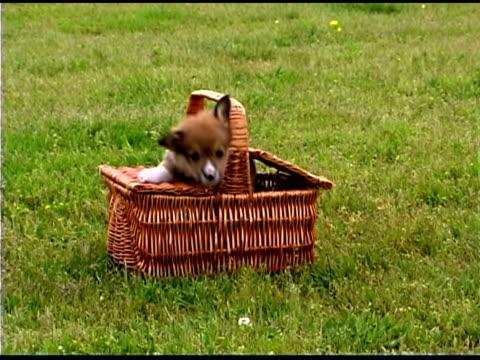 Corgi puppy jumping out of basket