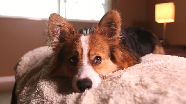corgi puppy on a bed - audio available stock videos & royalty-free footage