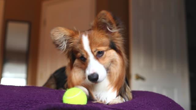 Corgi puppy with ball