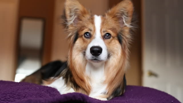 stockvideo's en b-roll-footage met corgi puppy with ball - pembroke