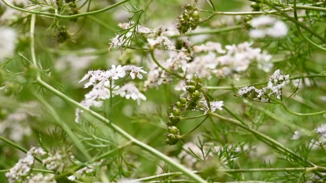 coriander flowers and seed heads. - herb garden stock videos & royalty-free footage