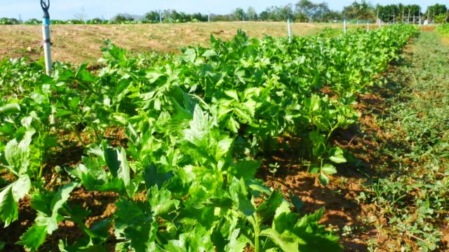coriander in the field - coriander stock videos & royalty-free footage