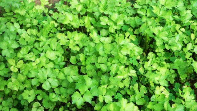 4k : coriander vegetable in the plantation (dolly shot) - coriander stock videos & royalty-free footage