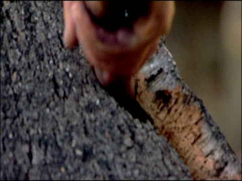 cork (quercus suber) bark being levered off tree with axe, andalusia, southern spain - 木肌点の映像素材/bロール