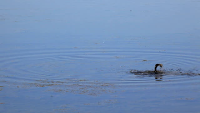 stockvideo's en b-roll-footage met cormoran fishing eel - cormorant