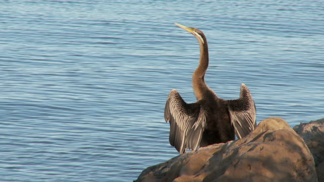 hd: cormorant by the river - animal neck stock videos & royalty-free footage