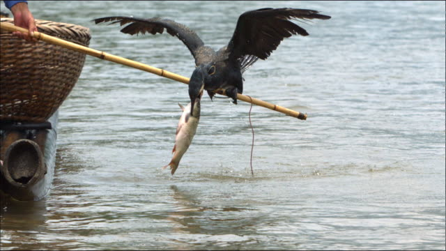 stockvideo's en b-roll-footage met cormorant catching a fish in guilin, southern china - cormorant