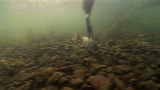 stockvideo's en b-roll-footage met cormorant catching fish and trying to swallow it in guilin, southern china - cormorant