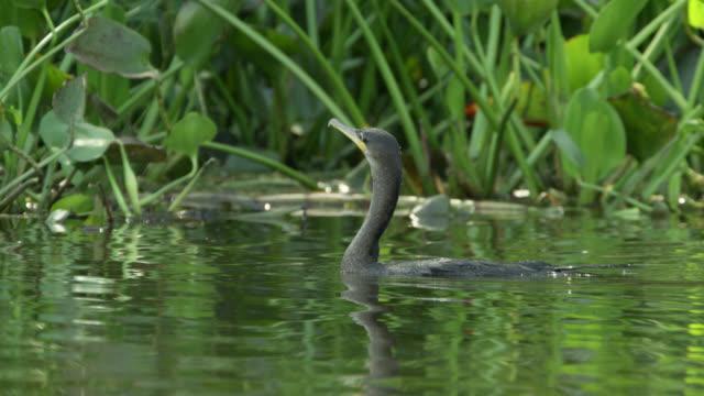 stockvideo's en b-roll-footage met cormorant (phalacrocorax brasiliensis) dives underwater, - cormorant