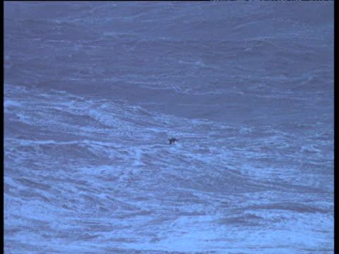 Cormorant flies low over huge stormy seas, Ireland