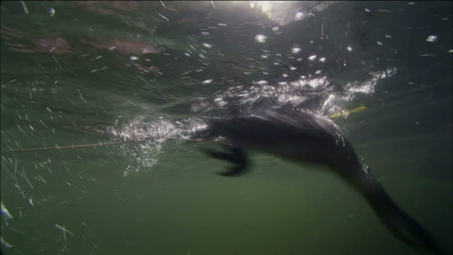 stockvideo's en b-roll-footage met cormorant hunting fish underwater in guilin, southern china - cormorant