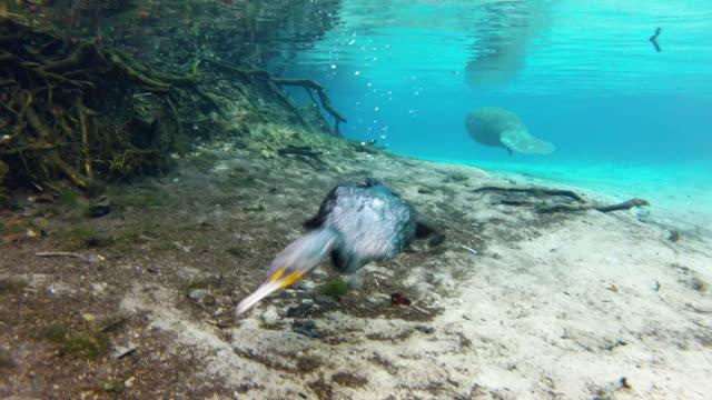 stockvideo's en b-roll-footage met cormorant hunting for food undersea - everglades, florida - cormorant