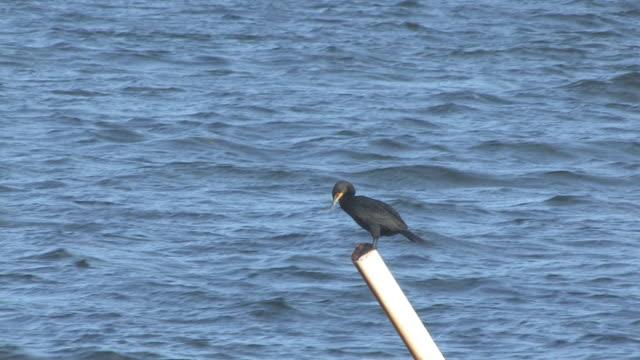 stockvideo's en b-roll-footage met cormorant on the post 1 - hd 30f - cormorant