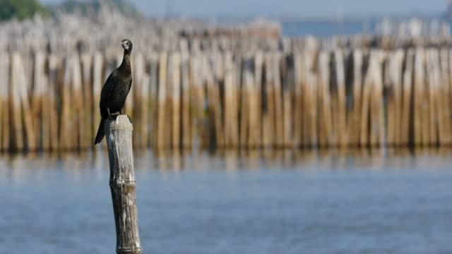 cormorant perched on bamboo. - bamboo shoot stock videos & royalty-free footage