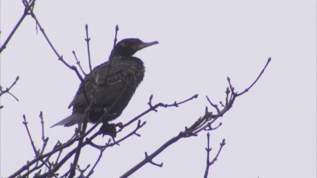 a cormorant perches in a bare tree in valdivia. available in hd. - perching stock videos & royalty-free footage
