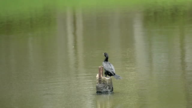 stockvideo's en b-roll-footage met cormorant preen - houten paal