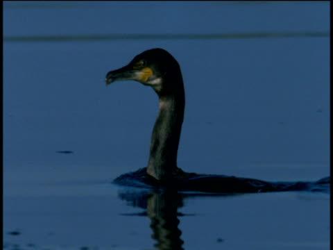 vídeos de stock, filmes e b-roll de cormorant swallows fish then dives underwater, western scotland - símbolo conceitual