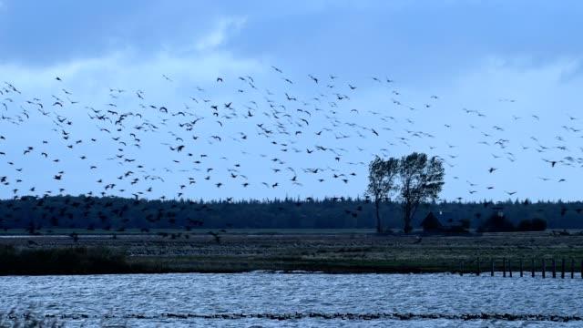 stockvideo's en b-roll-footage met cormorant swarm in autumn, bresewitz, zingst, fischland-darß-zingst, baltic sea, mecklenburg-vorpommern, germany - cormorant