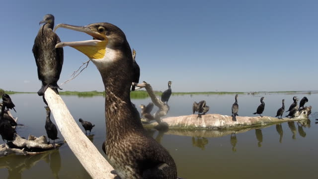 cormorants (phalacrocorax carbo) and other birds - wearable camera stock videos & royalty-free footage