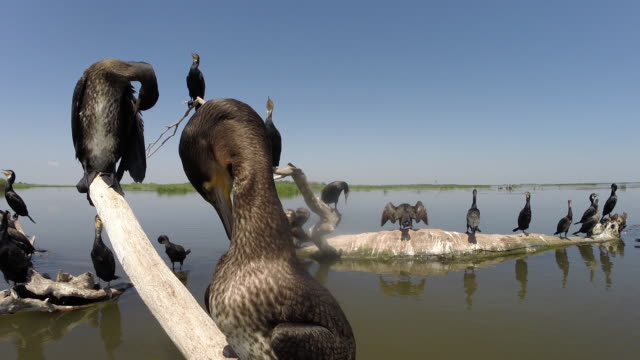 cormorants (phalacrocorax carbo) and other birds - sea bird stock videos & royalty-free footage