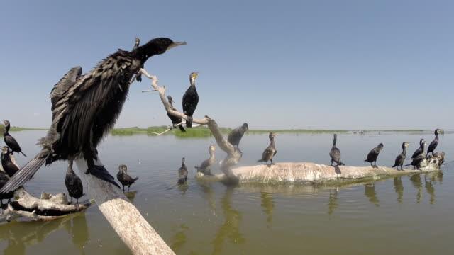 stockvideo's en b-roll-footage met aalscholvers (phalacrocorax carbo) en andere vogels - cormorant